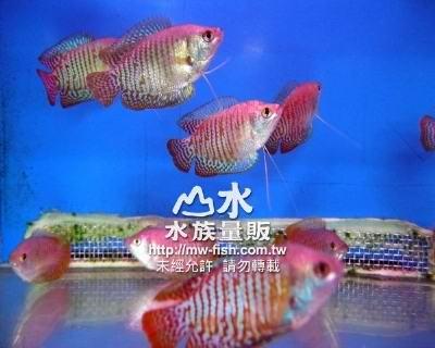 招财丽丽鱼,招财鱼纹身,招财鱼纹身图案大全_点力 ...